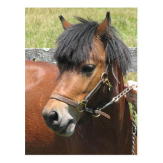 Carte postale de conception de poney de Shetland