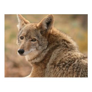 Carte postale de coyote