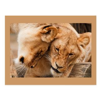 Carte postale de deux lions