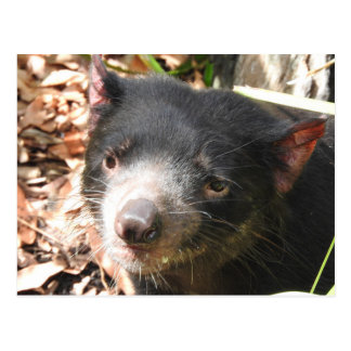 Carte postale de diable tasmanien