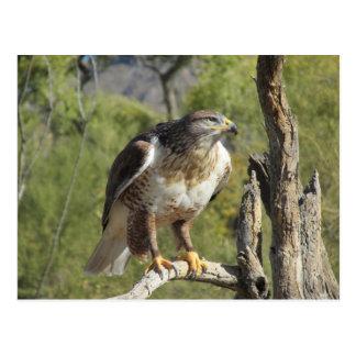 Carte postale de faucon coupée la queue par rouge