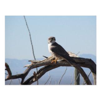 Carte postale de faucon de prairie