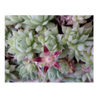 Carte postale de fleur de macdougallii de