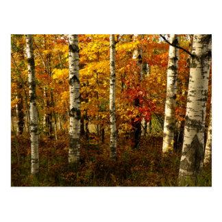 Carte postale de forêt de bouleau