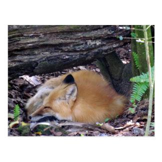 Carte postale de Fox rouge