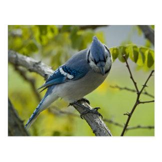 Carte postale de geai bleu