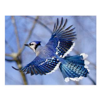 Carte postale de geai bleu en vol