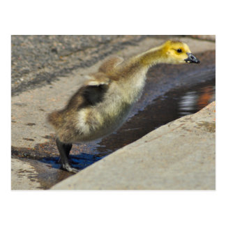 Carte postale de Gosling d'oie du Canada