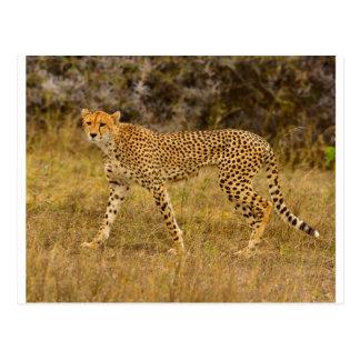 Carte postale de guépard