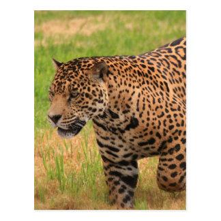 Carte postale de Jaguar