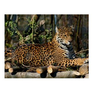 Carte postale de Jaguar de Panthera