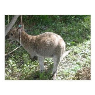 Carte postale de kangourou !