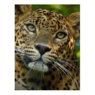 Carte postale de léopard