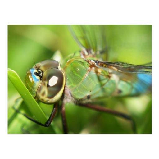 Carte postale de libellule
