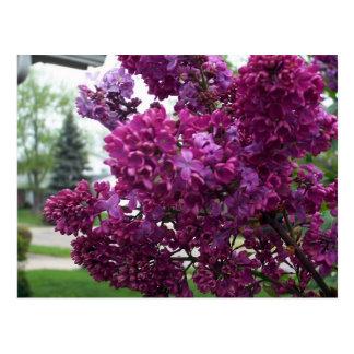 Carte postale de lilas de lavande