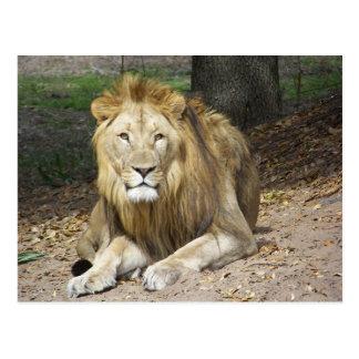 Carte postale de lion