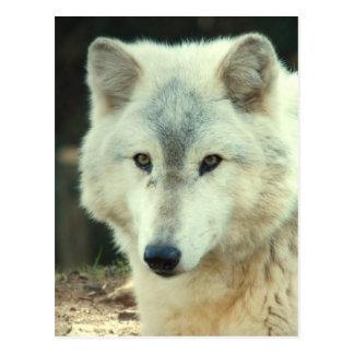 Carte postale de loup gris