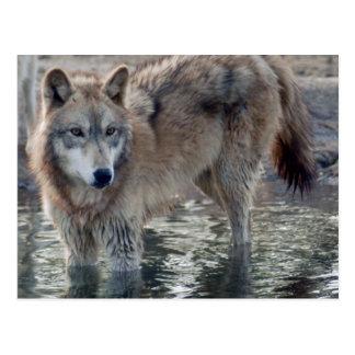 Carte postale de loup gris de loups