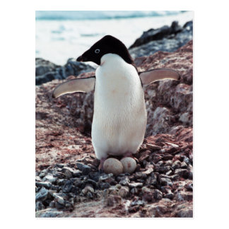 Carte postale de nid de pingouin d'Adelie