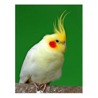 Carte postale de photo d'oiseau de Cockatiel belle