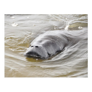 Carte postale de plage d'Ormond de lamantin de la