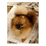 Carte postale de Pomeranian