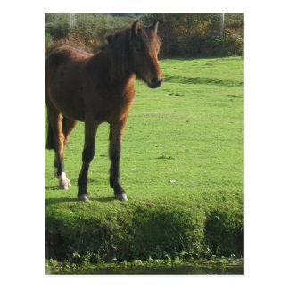 Carte postale de poney