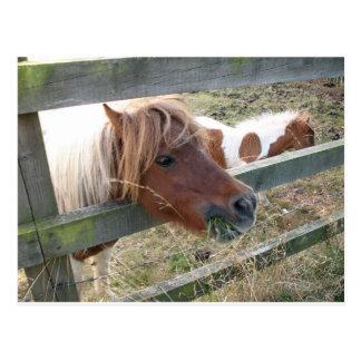 Carte postale de poney de Shetland (5019)