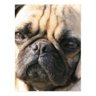 Carte postale de race de chien de carlin