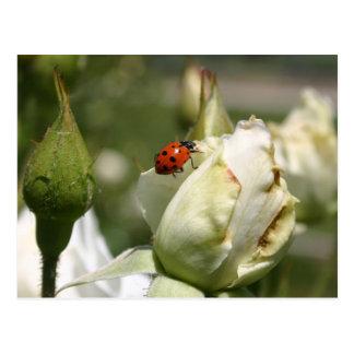 Carte postale de Rosebud de coccinelle