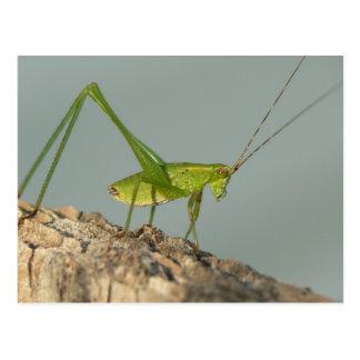 Carte postale de sauterelle