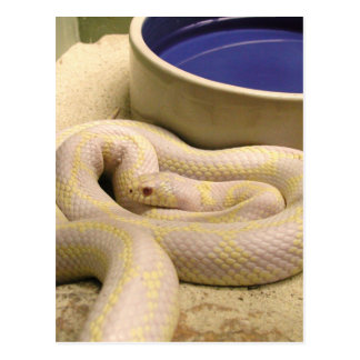 Carte postale de serpent albinos !
