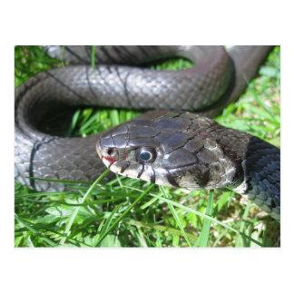 Carte postale de serpent d'herbe