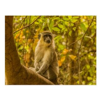 Carte postale de singe