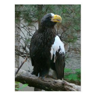 Carte postale de Stellers Eagle