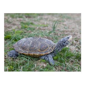 carte postale de tortue de terrapin de dos en