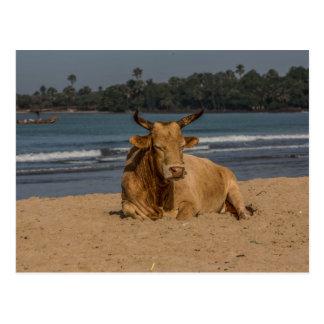 Carte postale de vache de la Gambie