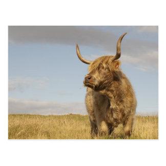 Carte postale de vache de l'Ecosse