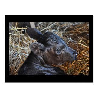 Carte postale de veau en paille