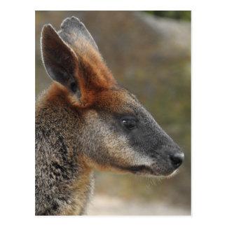 Carte postale de wallaby de marais