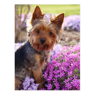 Carte postale de Yorkshire Terrier