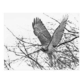 Carte Postale Décollage coupé la queue par rouge de faucon