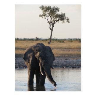 Carte postale d'éléphant africain