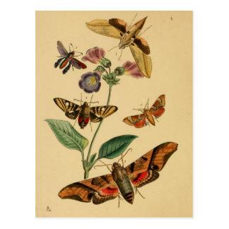 Carte postale d'entomologie