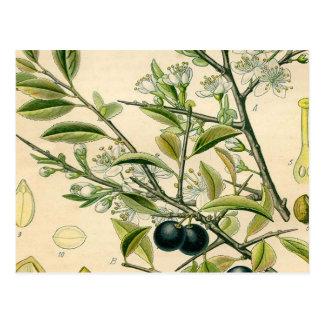 Carte Postale Dessin floral de prunellier botanique antique
