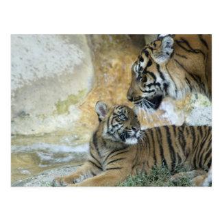 Carte Postale Détente de tigres de Bengale