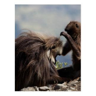 Carte Postale Deux babouins de gelada (gelada de Theropithecus)