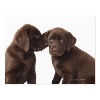 Carte Postale Deux chiots de labrador retriever de chocolat