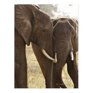 Carte Postale Deux éléphants de Bush d'Africain (Loxodonta