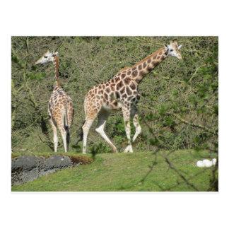 Carte Postale Deux girafes